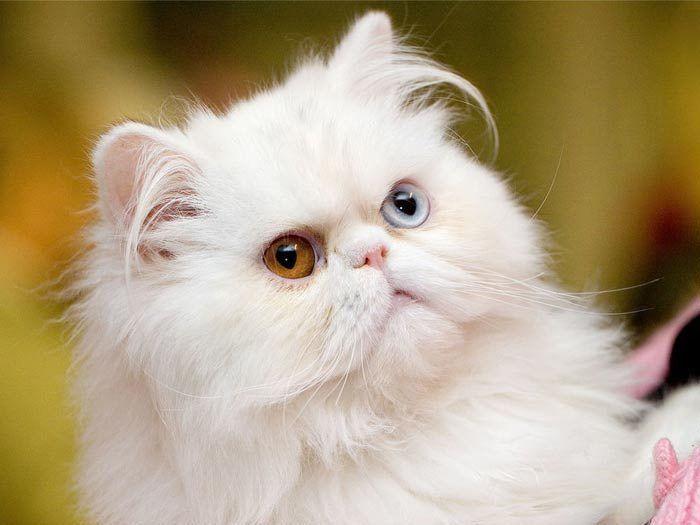 Перс с разными глазами