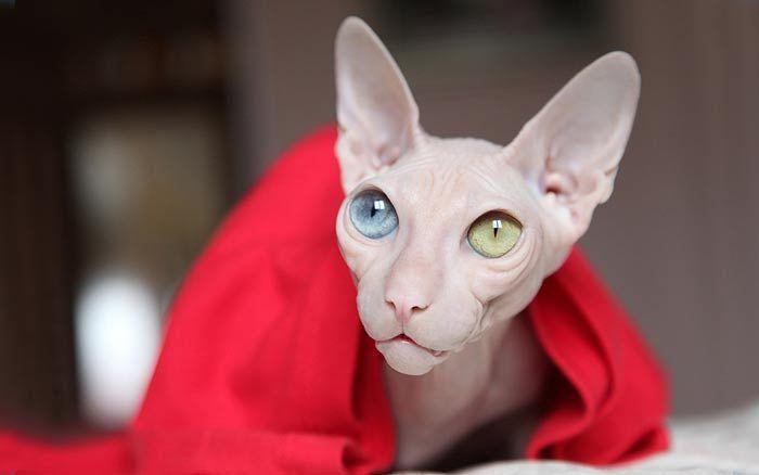 Сфинкс с разными глазами