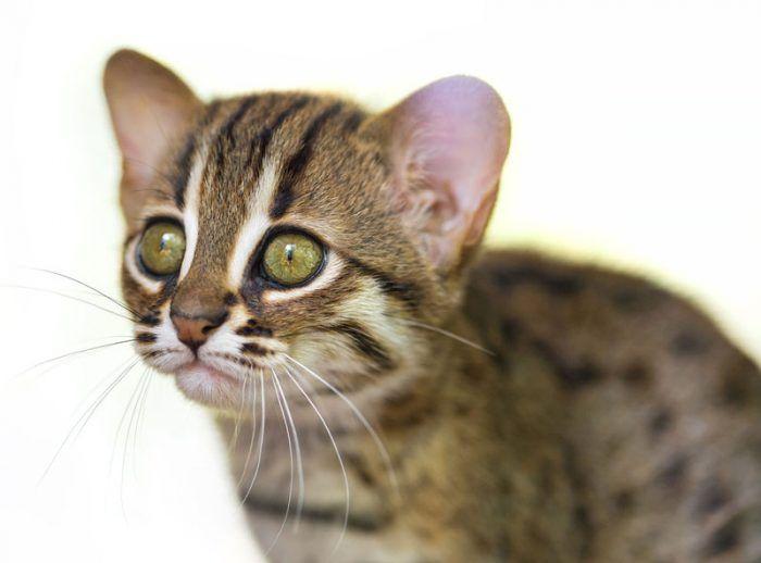 Котенок ржавой кошки