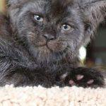 Интересное лицо у котенка