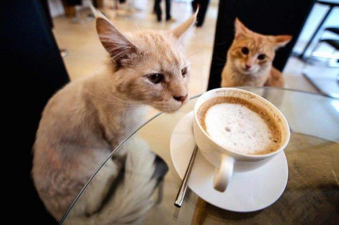 Кошки хотят кофе
