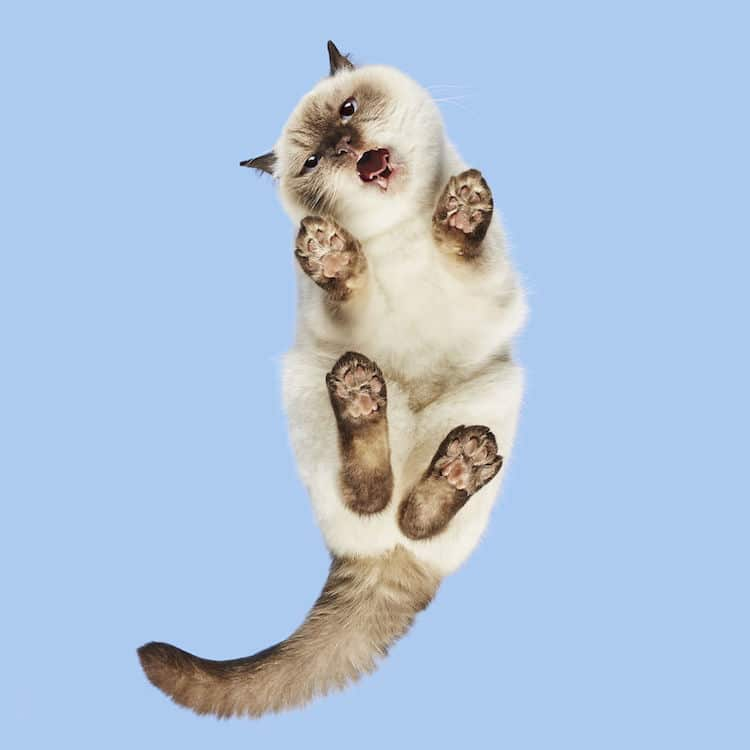Коричнево-белый кот