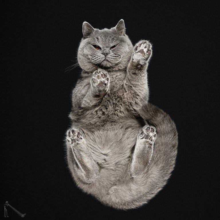 Британский кот на черном фоне