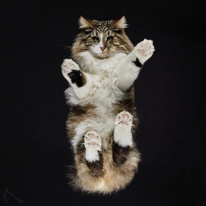 Пушистый кот снизу