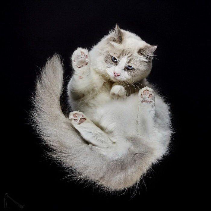Пушистая белая кошка