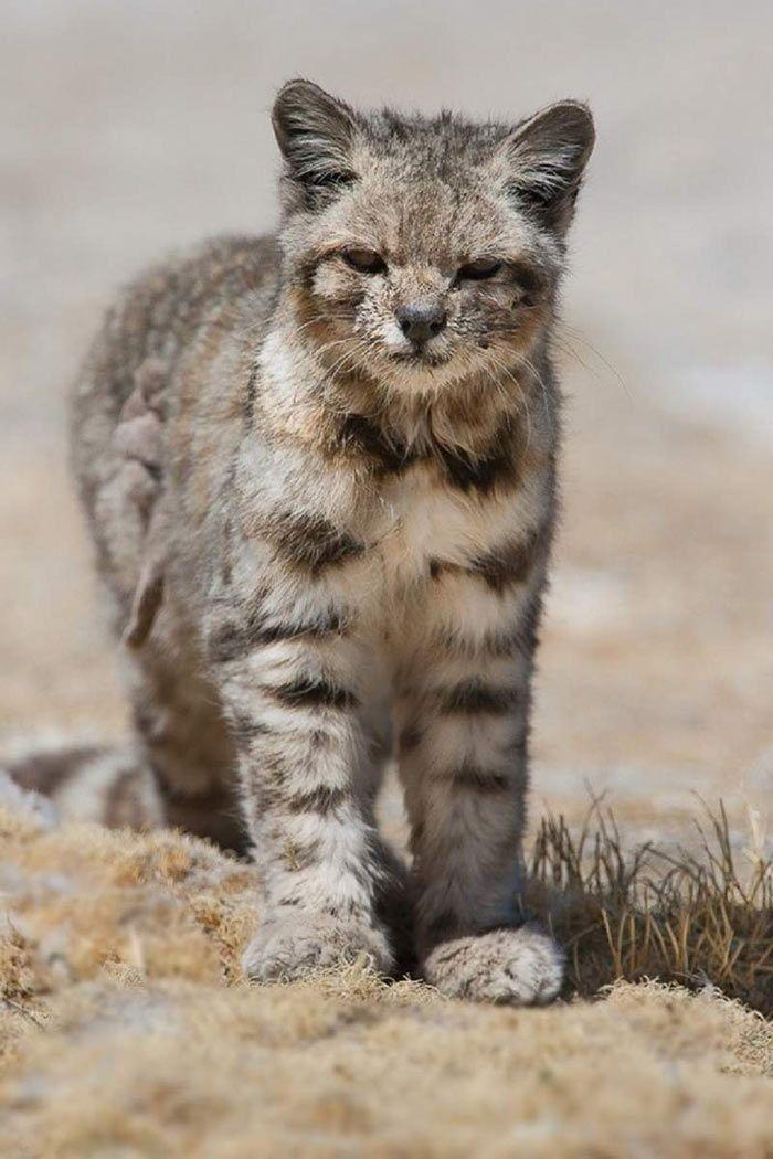 Андский котенок