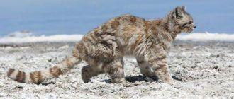 Андская кошка на песке