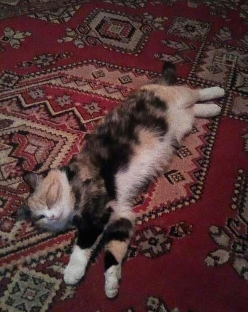 Кошка Анона