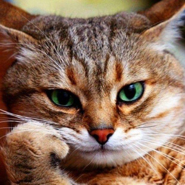 Кошка думает