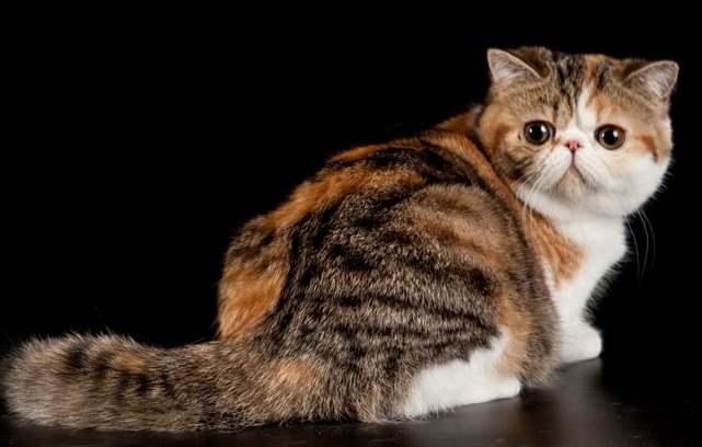 Самая мягкая шерсть порода кошек thumbnail