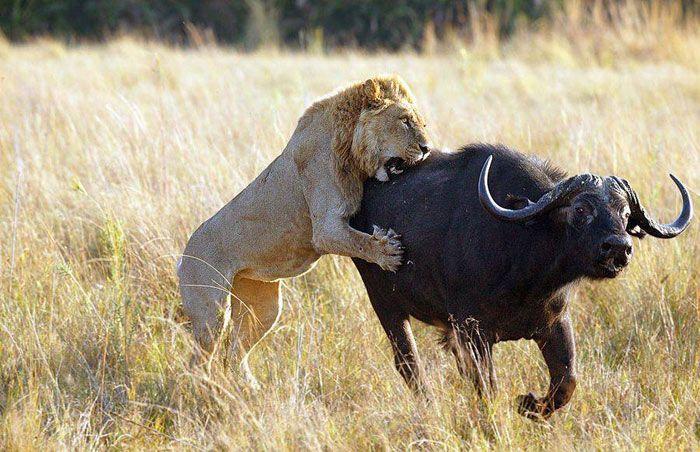 Лев без гривы