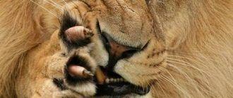 Большая морда льва