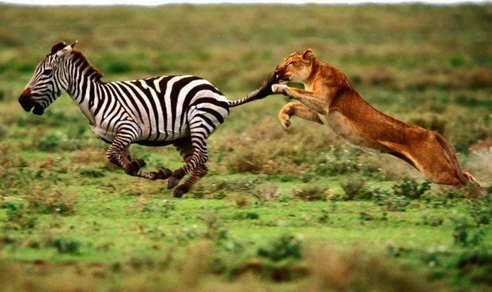 Львица на охоте