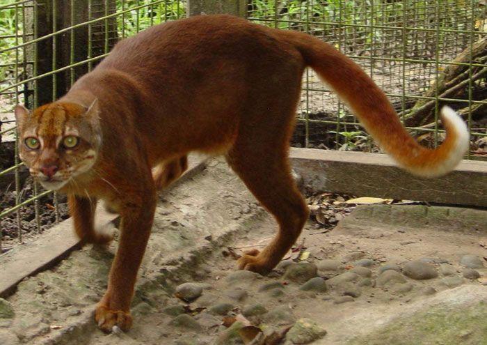 Калимантанская кошка на фото