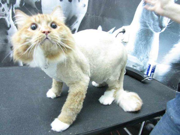 Кошку стригут у грумера