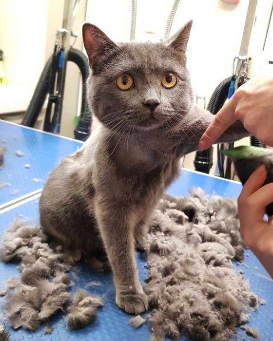 Много шерсти после кошки