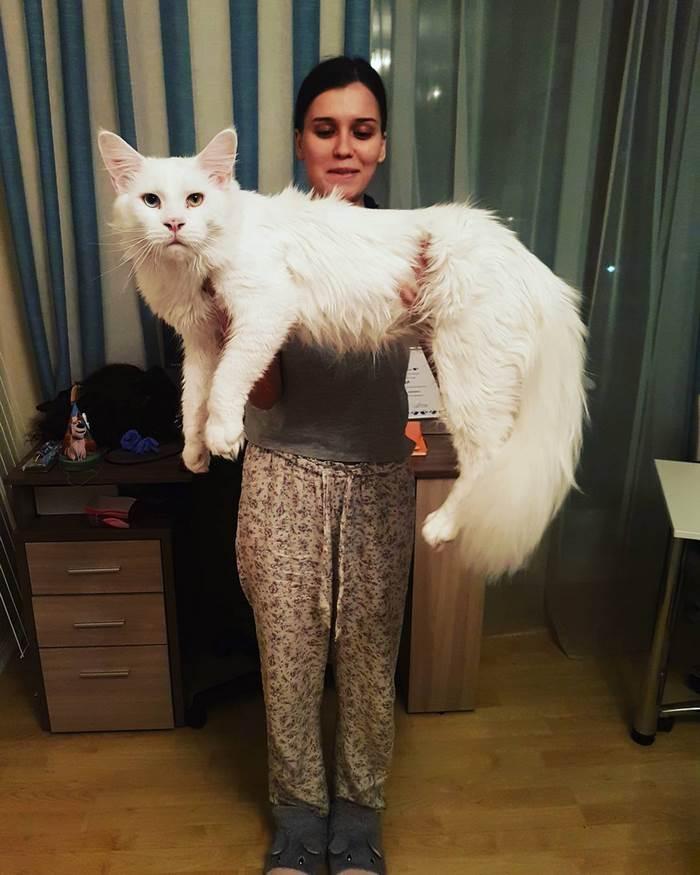 Длинный котик