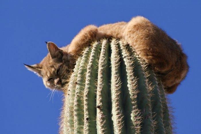 Бобкэт на кактусе