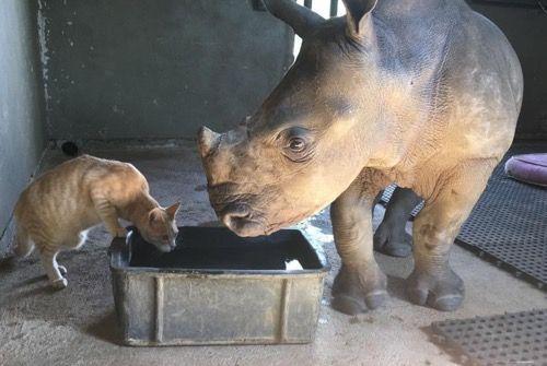 Носорог и кот