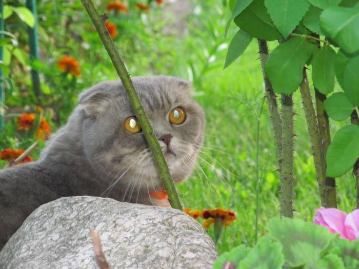 Кошечка Жалин Либрида