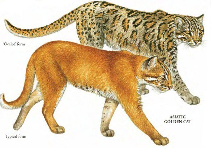 Два вида Темминки