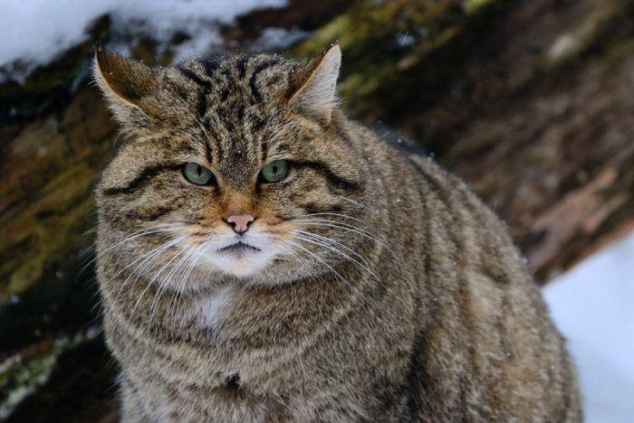 Пушистый лесной кот