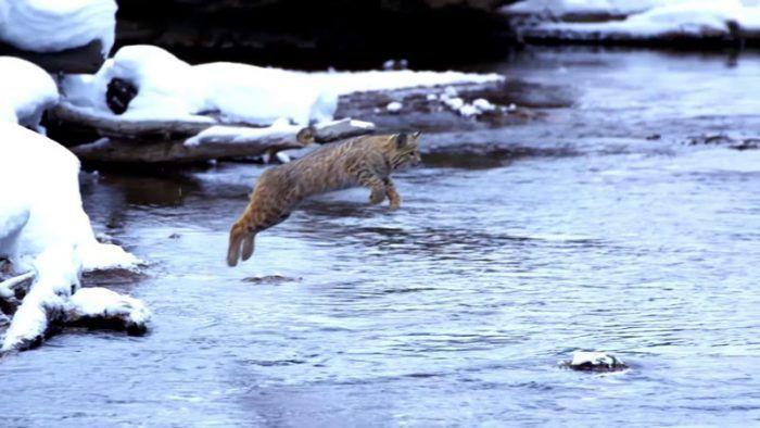 Кот прыгает через реку