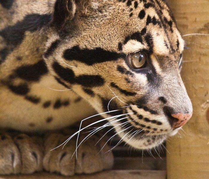 Красивая мордочка у Леопарда