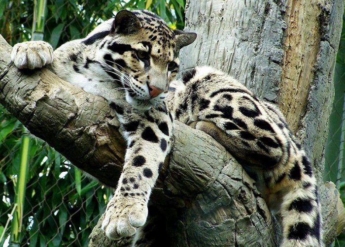 Дымчатый леопард на бревнышке