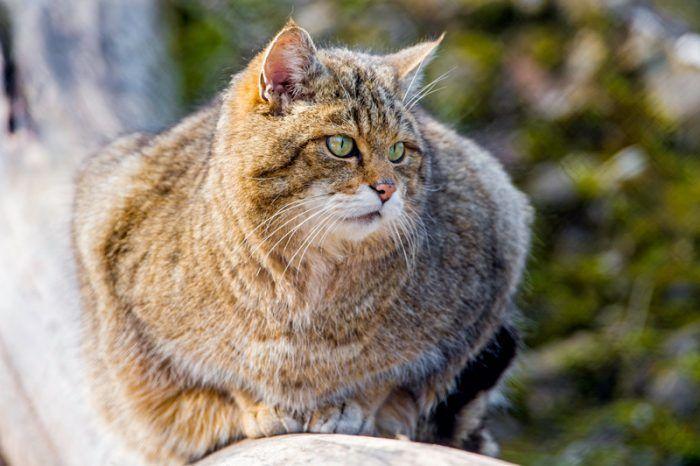 Пушистая шерстка у дикого кота