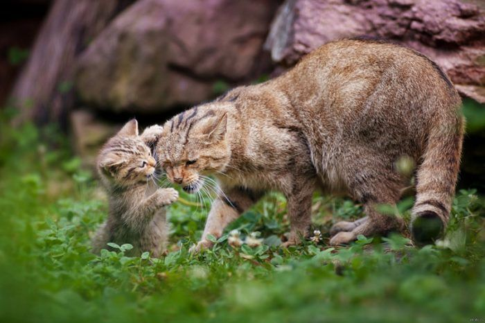 Лесная кошка с котенком