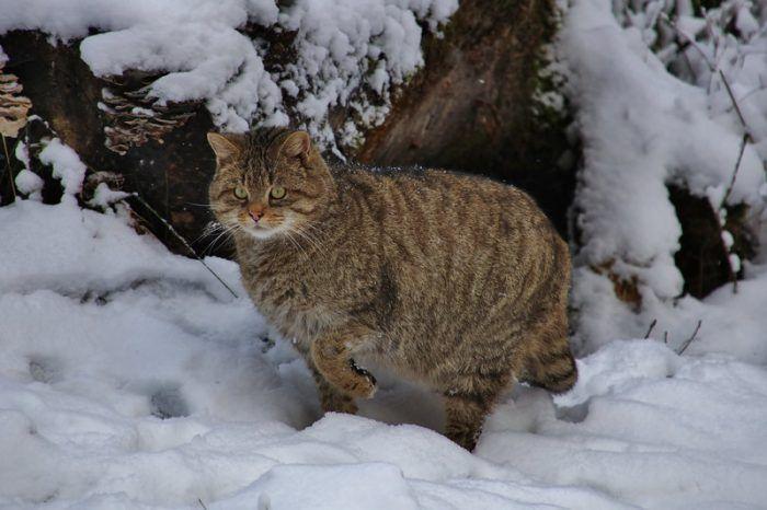 Лесной кот зимой
