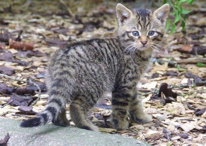 Котенок дикого кота