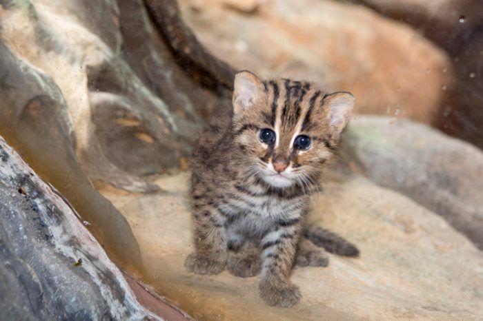 Малыш Виверрового кота