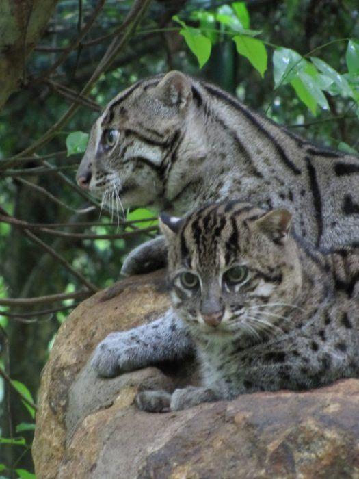 Два Виверровых кота лежат в клетке
