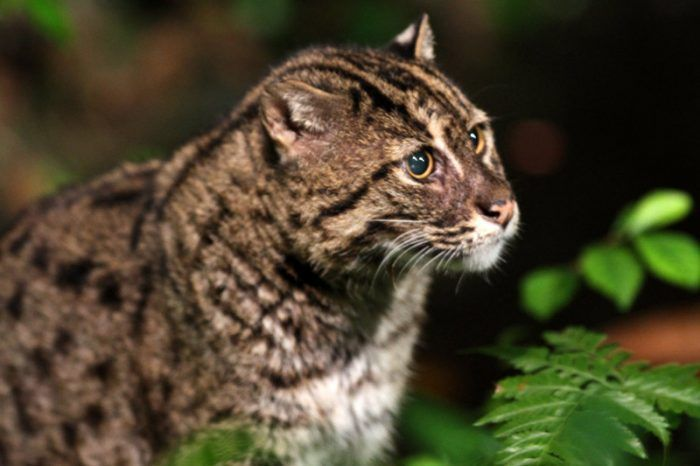 Виверровый кот в кустах
