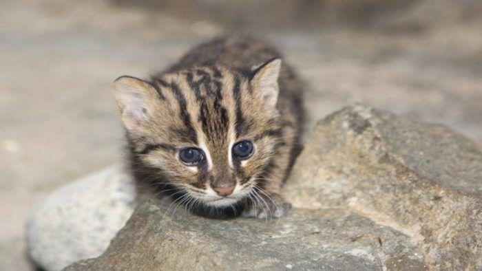Маленький котенок Виверровой кошки
