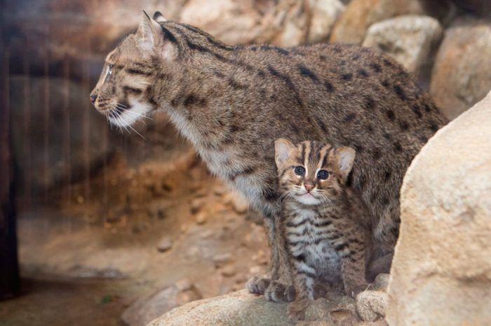 Пятнистый котик