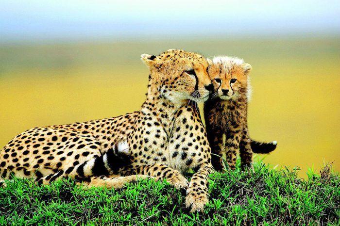 Самка Гепарда и детеныш