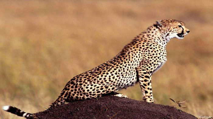 Гепард на камне