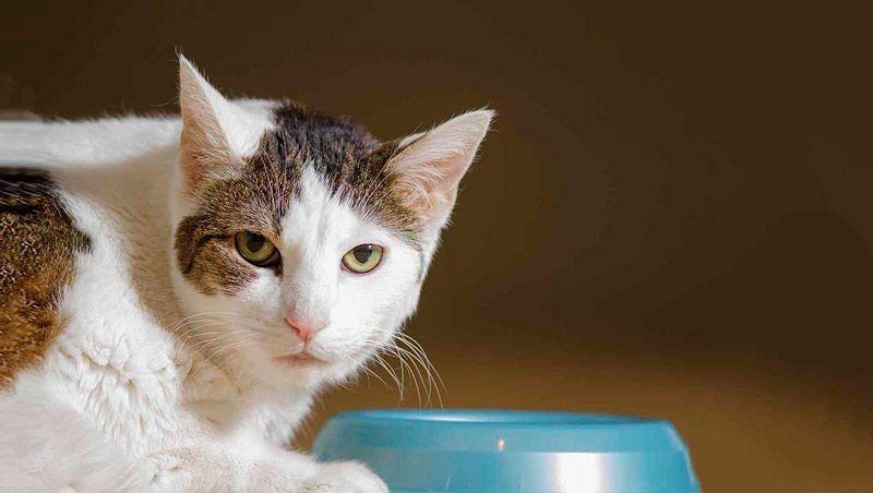 Чем повысить аппетит у кота с хпн