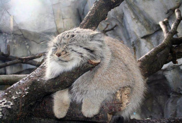 Манул спит