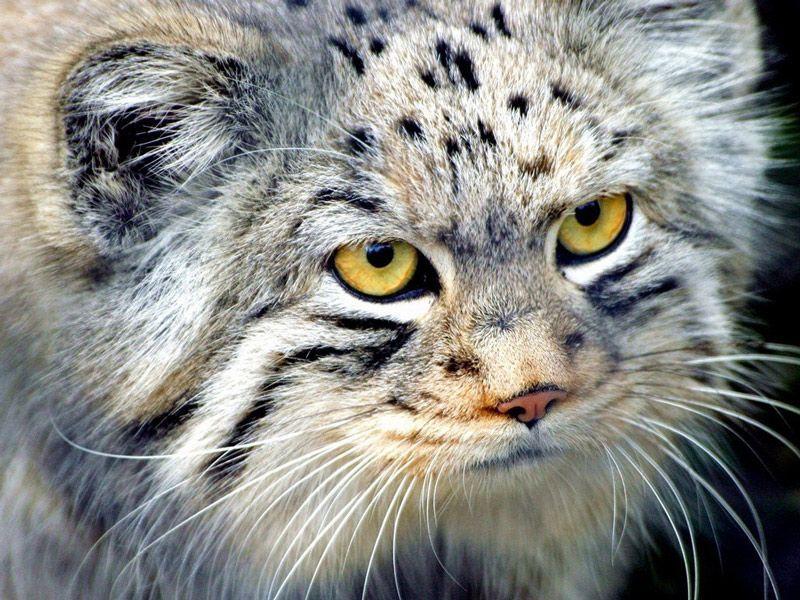 Манул или Палласов кот: 20 фото, описание, место обитания