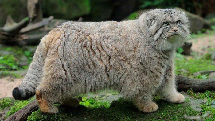 Пушистый Палласов кот