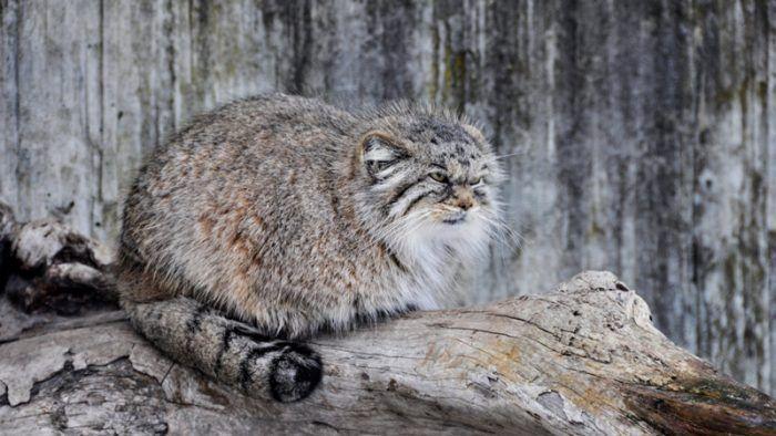 Палласов кот на бревнышке