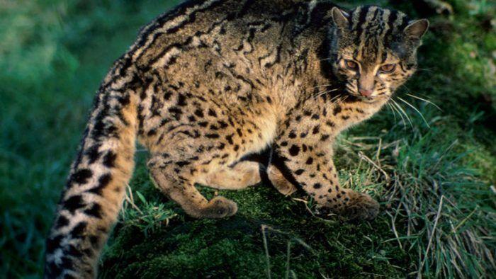 Мраморный кот в природных условиях