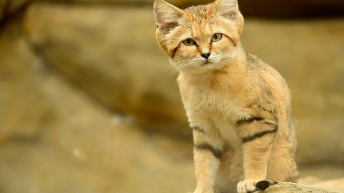 Барханный или песчаный кот