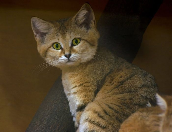 Молодой Барханный кот