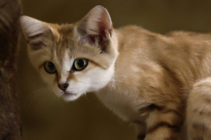 Любопытный Барханный кот
