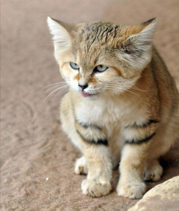 Острые кончики ушей у Барханного кота